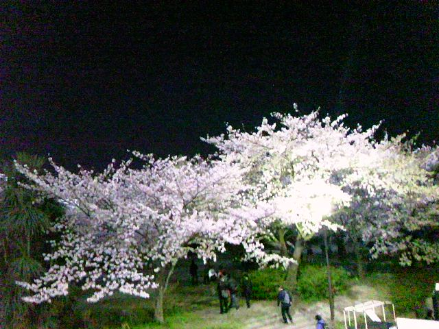 等々力陸上競技場の桜